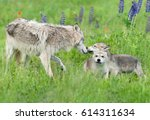 grey wolf  canis lupus  greets... | Shutterstock . vector #614311634