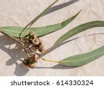 branch of eucalyptus tree with... | Shutterstock . vector #614330324