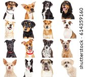 Stock photo collage of close up portraits of sixteen different crossbreed dogs isolated on white 614359160