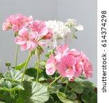 Pelargonium Zonale  Geranium...