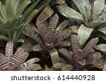 Small photo of Group of Bromeliads (Bromelioideae)