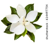 Magnolia Flower  Top View ...