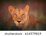 Portrait Of Wild Panthera Leo...