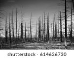 Small photo of Seasoned wood of dead forest. drought is caused by volcanic ejectamenta, Kamchatka, Russia