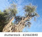 Very Old Olive Tree Seen From ...