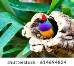 Small photo of Colorful bird amadina sitting on a tree (Chloebia gouldiae)