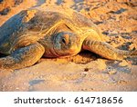 Small photo of Green sea turtle, Chelonia mydas, Ras Al Jinz, Sultanate of Oman. Arabian Peninsula