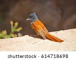 Small photo of African Paradise Flycatcher, Terpsiphone viridis. Sultanate of Oman. Arabian Peninsula