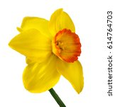 Yellow Daffodil Isolated On...