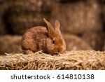 Stock photo cute rabbit small bunny domestic pet with long ears and fluffy fur coat sitting in natural hay 614810138