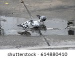 Wet Pigeon After Raining