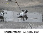 Wet Pigeon After Raining