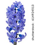 beautiful fresh violet hyacinth ...   Shutterstock . vector #614924513