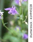 Blue Flower Aquilegia