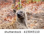 smiling spotted hyena | Shutterstock . vector #615045110