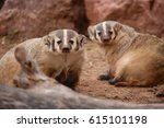 Small photo of Two American Badgers