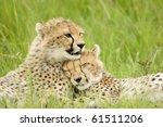 cheetah cubs huddled up... | Shutterstock . vector #61511206