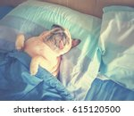 Stock photo cute pug dog sleep rest in the bed wrap with blanket and tongue sticking out in the lazy time 615120500