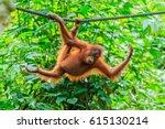 Orangutans Or Pongo Pygmaeus I...