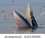 Bryde's Whale  Eden's Whale ...
