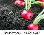 fresh radishes in vegetable on...   Shutterstock . vector #615215600