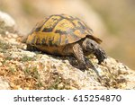 Testudo Graeca On A Rock In A...