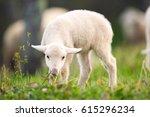 Lamb Grazing On Green Grass...