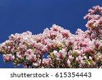 Magnolia Blossom In The Spring