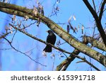 Blackbird On The Branch In The...
