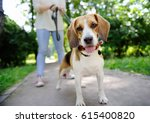 Stock photo close up photo of young woman walking with beagle dog in the summer park obedient pet with his 615400820