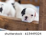 Baby French Bulldog Is Looking...