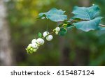 Branch Of A Bush Of Snowberry ...
