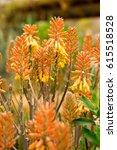 Aloe Shiny Coppery Yellow...