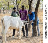 Small photo of BRONG AHAFO, GHANA - JAN 15, 2017: Unidentified Fulani men bind the bull to the tree in the local village. Fulanis are ethnic group of Ghana