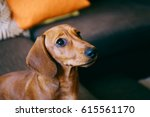 close up of 5 months old smooth ... | Shutterstock . vector #615561170