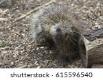 north american adult porcupine... | Shutterstock . vector #615596540