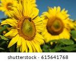 sunflower | Shutterstock . vector #615641768