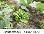 Salad Leaf And Cabbage Grow On...