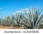 blue agave plants in mexico...   Shutterstock . vector #615655838