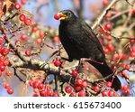 Male European Blackbird  Turdu...