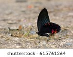 Small photo of Butterfly from the Taiwan (Papilio protenor amaura) Black butterfly in water