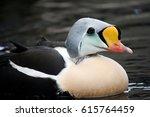 A King Eider Bird Floating On...