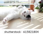 Stock photo white og black cat breed turkish van vankedisi or turkish angora 615821804