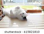 Stock photo white og black cat breed turkish van vankedisi or turkish angora 615821810
