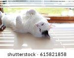 Stock photo white og black cat breed turkish van vankedisi or turkish angora 615821858
