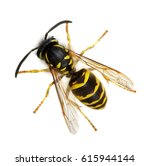 Wasp Isolated On White...