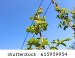 Small photo of Tops of raspberry plants on a farm with aligning ropes over a blue sky
