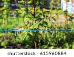 Small photo of Leaves of a raspberry plant on a farm with ropes to align branches