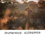 backlighted lioness  panthera... | Shutterstock . vector #615969959