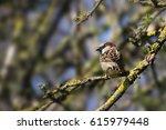 house sparrow male  passer... | Shutterstock . vector #615979448